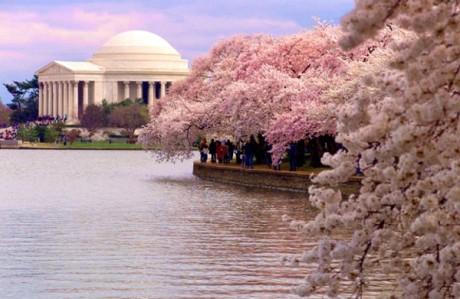 cherryblossomspic.jpg
